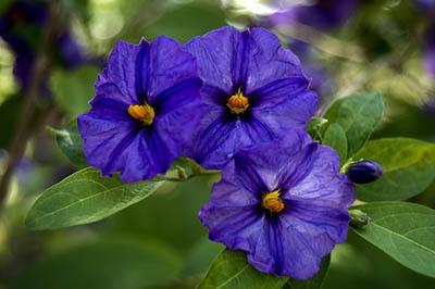 flores com cor de violeta