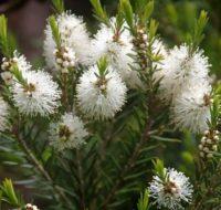 plantas da melaleuca utilizado contra a candidiase