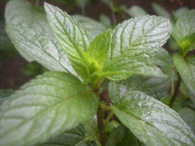 planta do hortelã-pimenta