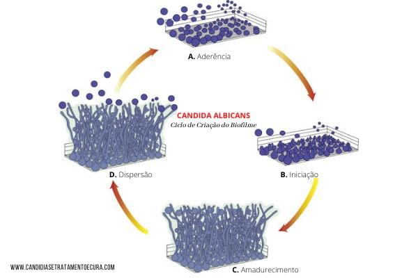 ilustração mostrando como a Candida cria o biofilme